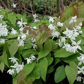 epimedium sagittatum is an awesome male enhancement plant