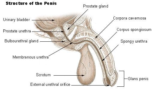 How Do Penis Extenders Work?
